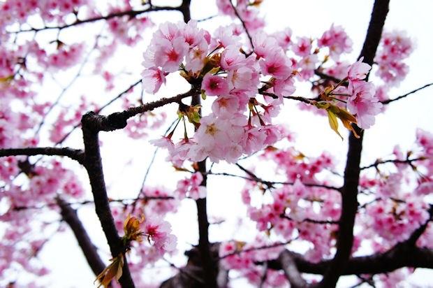 嵐山・法輪寺境内の桜01