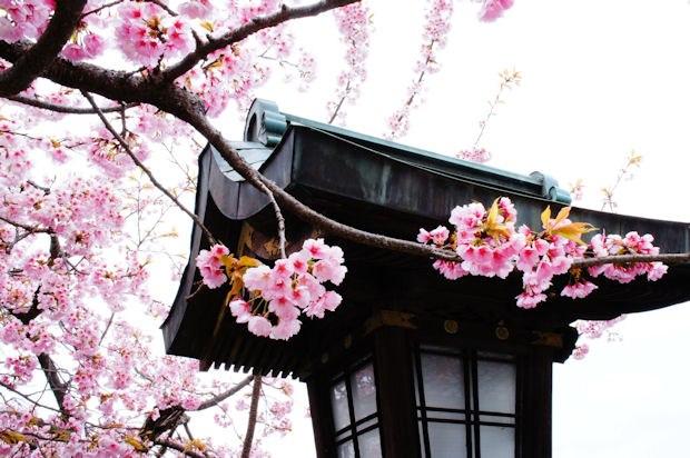 嵐山・法輪寺境内の桜02