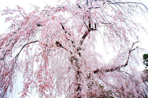 嵐山・法輪寺境内の桜06