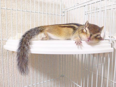 寝ているシマリスのスイカ